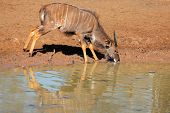 Male Nyala antelope (Tragelaphus angasii) drinking water, Mkuze game reserve, South Africa