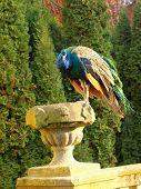 Peacock In The Castle Garden