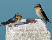 picture of mockingbird  - The close view of swallow resting on column - JPG