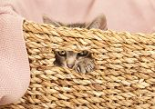 Young Cat Looking Out Of Basket