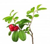 branch of red cowberries isolated on white background
