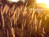 spikelets of grass brightly lit by the setting sun