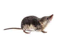 pic of shrew  - Shrews are among the most primitive animals on planet earth - JPG