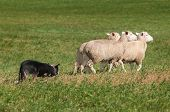 image of sheep-dog  - Stock Dog Herds Trio of Sheep Right  - JPG