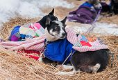 foto of sled-dog  - Sled Dogs Rest Between Legs of Race - JPG
