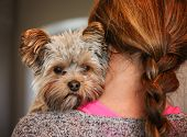 pic of scared baby  - a cute yorkshire terrier peeking from around a woman  - JPG
