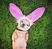 picture of applehead  -  a cute chihuahua laying in the grass with his tongue out and bunny ears on laying in the grass - JPG