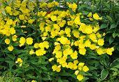 foto of primrose  - view of yellow primrose oenothera frutcosa flower in garden - JPG