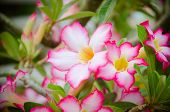 picture of desert-rose  - the Pink Desert Rose or Impala Lily or Mock Azalea flower - JPG