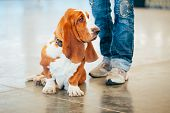foto of hound dog  - White And Brown Basset Hound Dog Portrait - JPG