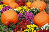 stock photo of mums  - This setting shows a blending of pumpkins and mums in a fall setting - JPG