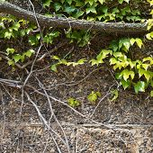 stock photo of tendril  - Stone wall covered with parthenocissus tendril climbing decorative plant background - JPG
