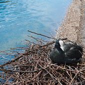 stock photo of water bird  - Fulica atra - JPG