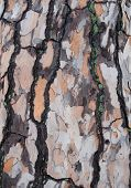 picture of white bark  - Shades of gray orange green and white form a mottled pattern on tree bark  - JPG