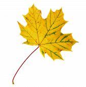 pic of canada maple leaf  - Autumn yellow maple - JPG