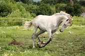 stock photo of galloping horse  - White andalusian horse galloping at flower field - JPG