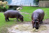foto of hippopotamus  - Photo of two Hippopotamuses at the zoo - JPG