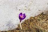 foto of rare flowers  - Purple flower of crocus blossomed out of the snow on the background of old snow - JPG