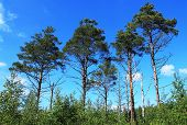 stock photo of swamps  - Some pines in the Estonian swamp - JPG