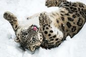 stock photo of snow-leopard  - Playful Snow Leopard rolling in snow and sticking out tongue - JPG
