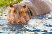 stock photo of hippopotamus  - Close encounters with hippopotamus in Chobe river in Botswana - JPG