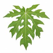 image of pawpaw  - Papaya leaf in green color which isolated from white background - JPG