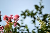 picture of crepe myrtle  - Pink crepe myrtle blooms in morning light - JPG