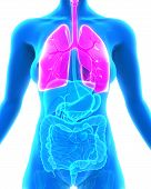 image of bronchus  - Human Respiratory System Illustration  - JPG