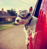 a cute westie - west highland terrier with goggles on riding in a car down an urban neighborhood ro poster