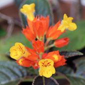 stock photo of lantana  - Lantana flower - JPG