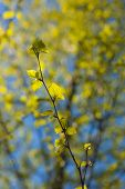 stock photo of foreground  - branch of a birch tree with spring foliage in the foreground - JPG