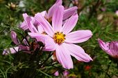 pic of cosmos flowers  - Bright pink cosmos flower with golden yellow stamen in detail - JPG