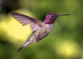 picture of hummingbirds  - Anna - JPG
