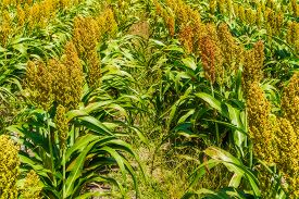 stock photo of sorghum  - Sorghum common name for maize - JPG