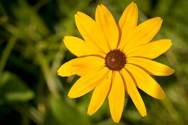 "image of black-eyed susans  - ""Black-Eyed-Susan"" flower (or Brown Betty Gloriosa Daisy Golden Jerusalem Poorland Daisy Yellow Ox-Eye Daisy) macro shot