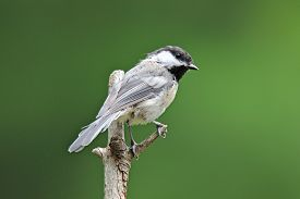 picture of chickadee  - A black capped chickadee (Poecile atricapillus) perching on a branch in summer. ** Note: Visible grain at 100%, best at smaller sizes - JPG