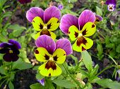 Trilling Pansy