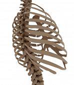 thorax
