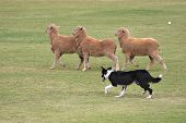 image of mustering  - a working sheep dog  - JPG