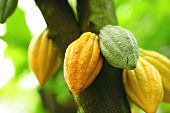 stock photo of bean-pod  - Cocoa pods on the tree in farm