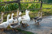 gooses walking on rural farm