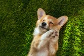 Adorable Welsh Corgi Pembroke On Green Lawn At Home poster