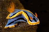 A marine snail known as a nudibranch crawls across a reef.  Their vibrant colors are a visual warning to other animals that they sting like jellyfish. poster