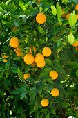 foto of orange-tree  - Ripe organic oranges hanging from an orange tree - JPG