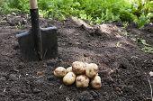potatoes in the garden