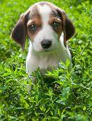 Estonian Hound puppy