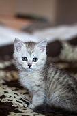 Fluffy White Kitten. Cute, Beloved, Beautiful Kitten Close-up. Portrait Of A Cat. Scottish Straight  poster