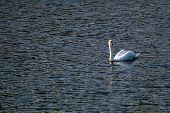 Floating Waterfowl Swan, Wild Birds Swimming On The Lake, Wildlife Landscape. Swan Swimming On Lake  poster