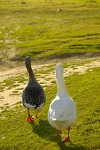image of honkers  - two geese walking away in warm sunset light