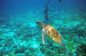 Sea Turtle Near Boat Anchor. Coral Reef Animal Underwater Photo. Marine Tortoise Undersea. Green Tur poster
